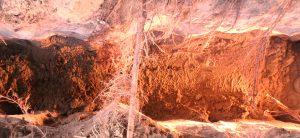 Root of ulmus